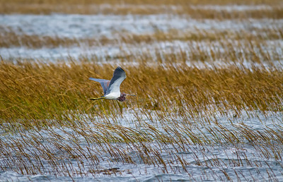 Tricolored Heron in flight over salt marsh