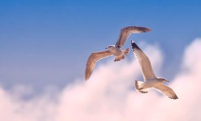 Two Seagulls in Flight Carmel River Lagoon