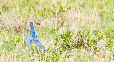 Mountain Bluebird in flight Upper Beaver Meadows, RMNP May, 2010