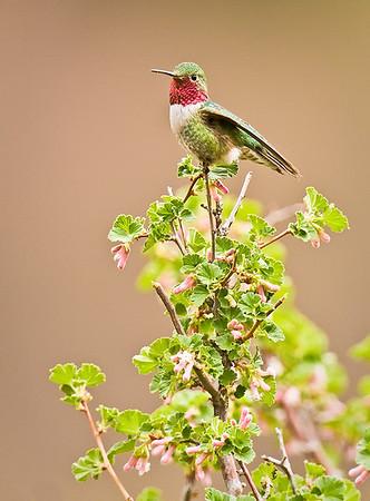 Broad-tailed Hummingbird, adult male