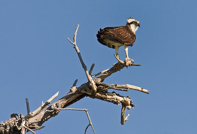 Osprey on perch Walden/Sawhill Ponds, Boulder, CO May, 2010
