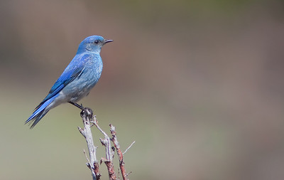 Mountain Bluebird Upper Beaver Meadows, RMNP May, 2010
