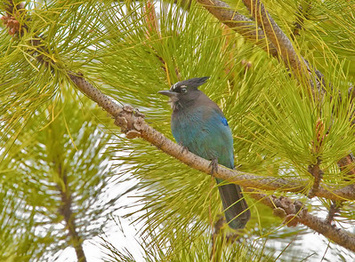 Steller's Jay Eldorado Canyon State Park Boulder County, Colorado 5/28/11
