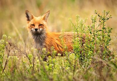 Red Fox Roxborough State Park Littleton, Colorado 5/29/11