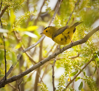 Male Wilson's Warbler Roxborough State Park Littleton, Colorado 5/29/11