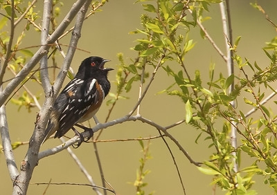 Male Spotted Towhee, singing Roxborough State Park Littleton, Colorado 5/29/11