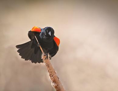 Male Red-winged Blackbird Two Ponds National Wildlife Refuge Arvada, Colorado  5/27/11