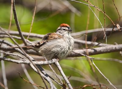Chipping Sparrow Two Ponds National Wildlife Refuge Arvada, Colorado  5/27/11