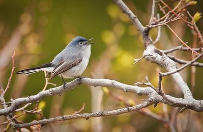 Blue-gray Gnatcatcher Eldorado Canyon State Park Boulder County, Colorado 5/28/11