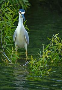 Black-crowned Night Heron, adult Shark Valley Loop Trail Everglades NP, 3/30/09