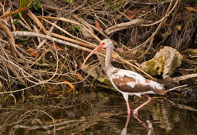 White Ibis, sub-adult Shark Valley Loop Trail Everglades NP, 3/30/09