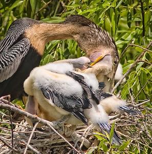 Anhinga in nest feeding chicks Shark Valley Loop Trail Everglades NP, 3/30/09