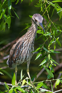 Yellow-crowned Night Heron, juvenile Shark Valley Loop Trail Everglades NP, 3/30/09