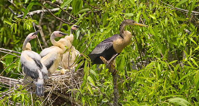Female Anhinga in front of nest Shark Valley Loop Trail Everglades NP, 3/30/09