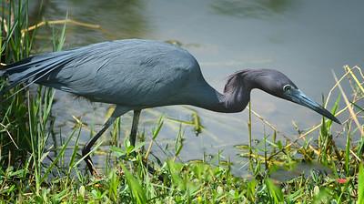 Little Blue Heron, adult Shark Valley Loop Trail Everglades NP, 3/30/09