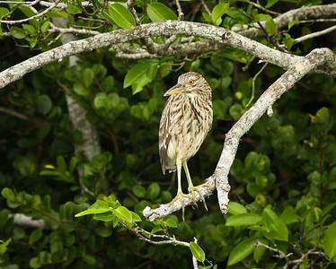 Black-crowned Night Heron, juvenile Shark Valley Loop Trail Everglades NP, 3/30/09
