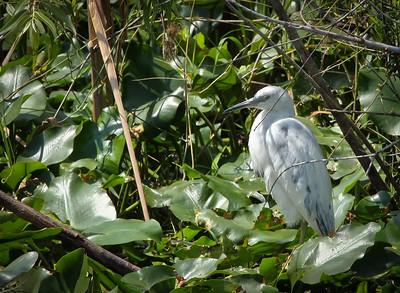 Little Blue Heron, juvenile Shark Valley Loop Trail Everglades NP, 3/30/09
