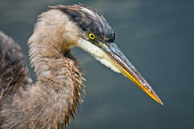 Great Blue Heron, juvenile head shot Shark Valley Loop Trail Everglades NP, 3/30/09