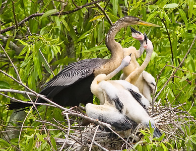 Anhinga in nest with chicks Shark Valley Loop Trail Everglades NP, 3/30/09