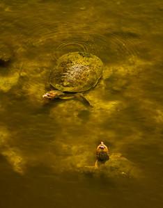 Florida Softshell Turtle Shark Valley Loop Trail Everglades NP, 3/30/09