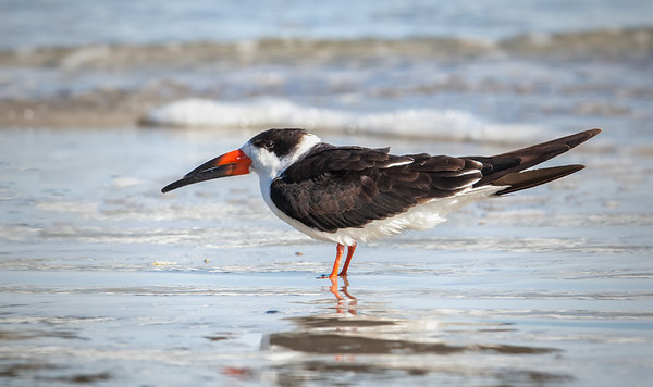 Black Skimmer, adult in non-breeding plumage 2 Fernandina Beach, Florida  12-30-12