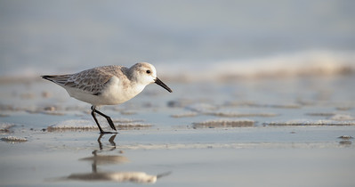 Sanderling walking on beach  Fernandina Beach, Florida  12-28-12