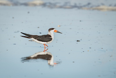 Black Skimmer walking, with reflection Fernandina Beach, Florida  12-30-12