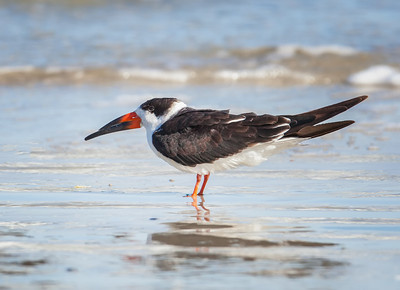 Black Skimmer, adult in non-breeding plumage Fernandina Beach, Florida  12-30-12
