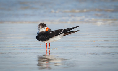 Black Skimmer preening on the beach Fernandina Beach, Florida  12-30-12