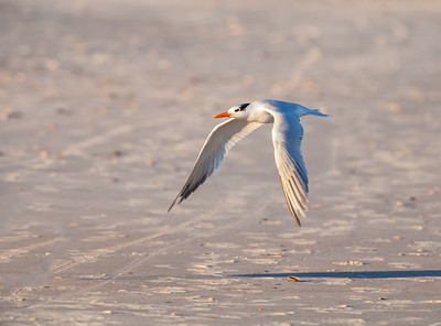Royal Tern in flight Fernandina Beach, Florida  12-30-12