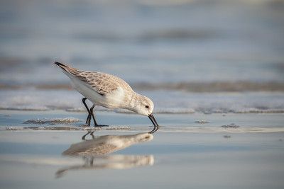 Sanderling foraging on beach with open bill Fernandina Beach, Florida  12-28-12