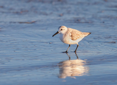 Sanderling, adult nonbreeding plumage Fernandina Beach, Florida  12-27-12