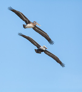 Pair of Brown Pelicans flying in tandem Fernandina Beach, Florida  12-27-12