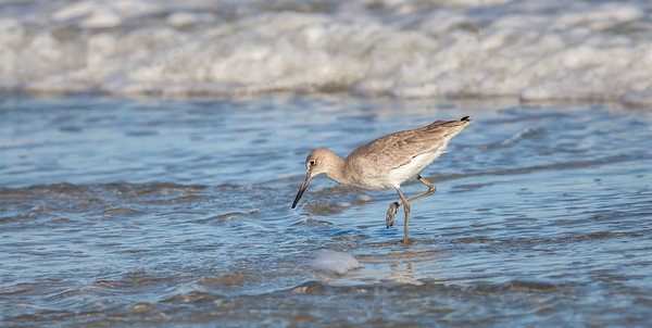 Willet, adult nonbreeding plumage Fernandina Beach, Florida  12-30-12