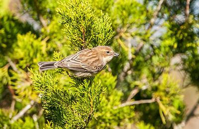 Yellow-rumped Warbler, adult female with berry Egans Greenway, 12-27-12 Fernandina Beach, Florida