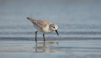 Sanderling on beach with water droplets Fernandina Beach, Florida  12-28-12