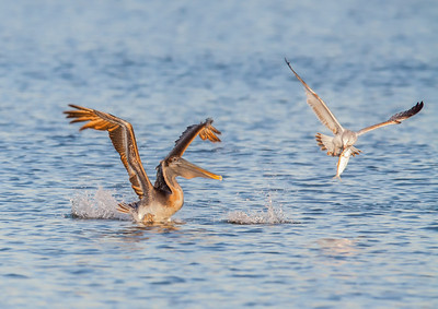 Brown Pelican chasing gull with fish Fernandina Beach, Florida  12-27-12