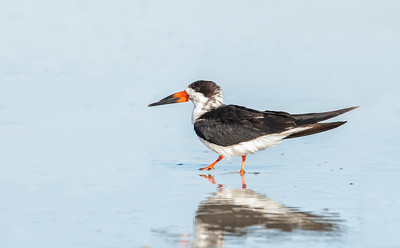 Black Skimmer walking, with reflection 2 Fernandina Beach, Florida  12-30-12