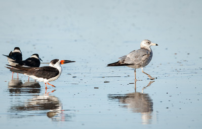 Black Skimmer walking with Ring-billed Gull Fernandina Beach, Florida  12-30-12