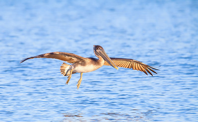 Brown Pelican with full wing spread and legs down Fernandina Beach, Florida  12-27-12