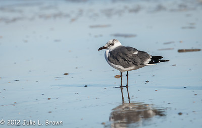 Laughing Gull, winter adult Fernandina Beach, Florida  12-30-12
