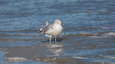 Ring-billed Gull, winter adult Fernandina Beach, Florida  12-30-12