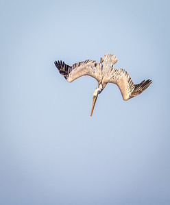 Brown Pelican in dive Fernandina Beach, Florida  12-27-12