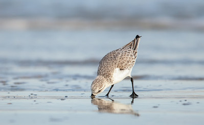 Sanderling foraging on beach  Fernandina Beach, Florida  12-28-12