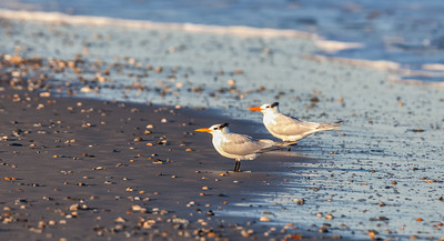 Royal Tern pair, adult in non-breeding plumage Fernandina Beach, Florida  12-30-12