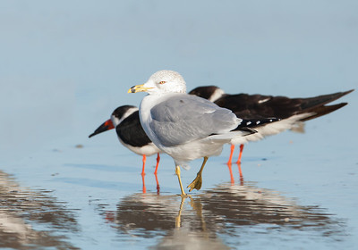 Ring-billed Gull, winter adult 2 Fernandina Beach, Florida  12-30-12