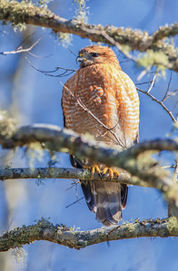 Red-shouldered Hawk, adult Egans Greenway, 12-27-12 Fernandina Beach, Florida
