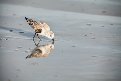 Sanderling foraging on beach with perfect reflection Fernandina Beach, Florida  12-28-12