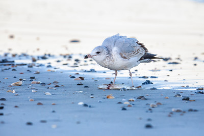 Ring-billed Gull, 1st winter, defending catch Fernandina Beach, Florida  12-27-12