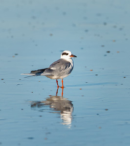 Forster's Tern, adult in non-breeding plumage Fernandina Beach, Florida  12-30-12